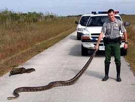 The Burmese python (this one was found along a road in the Florida Everglades) is the most well established giant constrictor in the U.S.