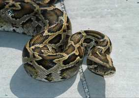 """""""Based on the extent of the Burmese python population, experts estimate that a population of tens of thousands now lives in the wild in Florida,"""" according to the USGS."""