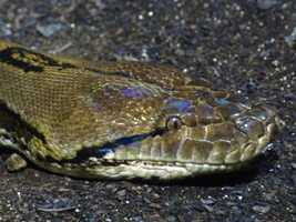 """""""The snake most associated with unprovoked human fatalities in the wild is the reticulated python,"""" according to the USGS."""