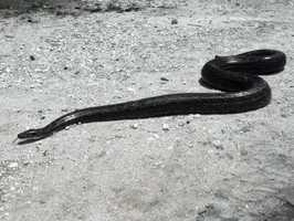 Rock pythons can eat goats, warthogs, and even crocodiles.