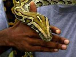 The answer is simple -- the pet trade. These giant constrictors have made a home in the U.S. because they were released or escaped pets.