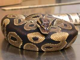 This ball python was found injured in a Hawaiian neighborhood. It was likely a released pet.