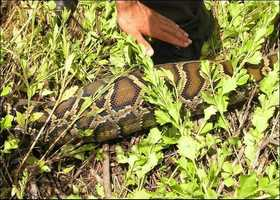Not only can these snakes survive in the wild, they can reproduce. And that is the worry.
