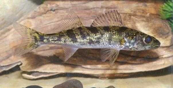 How big are pa 39 s record fish for Pa fish records