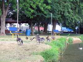 Geese gather alongside the lake at Myerstown Community Park between South Railroad and South College streets.
