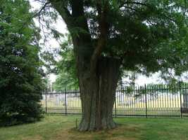 Adding to the confusion of the witness fence is this tree -- known as the witness tree. As one might expect, this tree was actually in Gettysburg at the time of the battle, unlike the witness fence.