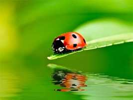 "The multicolored Asian lady beetle, part of a group of insects commonly called ""lady bugs,"" is smaller than a quarter inch long, oval shaped, yellow or red in color, and can have zero to 19 black spots. It is a tree-dwelling beetle and an important predator of aphids and scale insects."