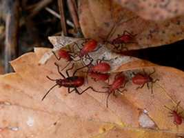 The boxelder bug is often found near homes or buildings with plantings of boxelder, a species of maple tree. About half an inch long, the adults are brownish-black with reddish-orange stripes on their backs and reddish-orange abdomens. Large numbers of the bugs gather on the south side of trees, buildings and rocks that are exposed to the sun.
