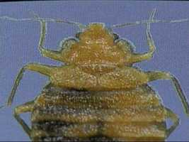 Bedbugs are flat, wingless and oval shaped. Adults are about the size of a lentil, although young bedbugs can be too small to be seen.