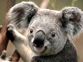This is an adorable koala in a tree.