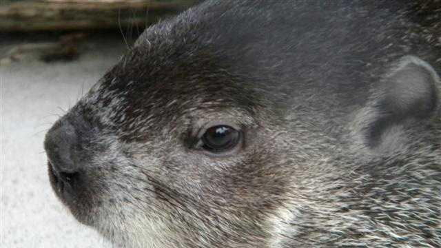 Groundhog (2) - 30360841