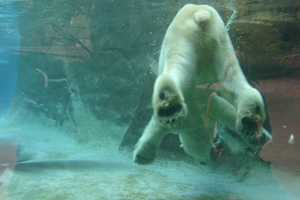 Both animals are in their 20's, which is old for a polar bear.