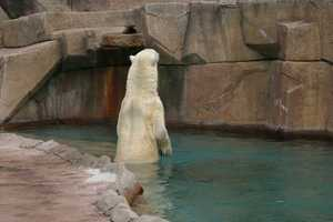 Due to environmental changes, including habitat loss, wild polar bears have been placed on the endangered list