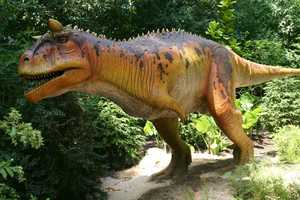 "The Carnotaurus (KAR-no-TOR-us) or ""Meat(eating)-Bull easily gets its name from the horns above its eyes."