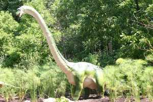 "The plant-eating Brachiosaurus (Bra-chi-o-SAWR-us) or ""Arm Lizard"" is unusual in that its front legs are longer than its back legs.  This is one of the tallest animals to ever walk the earth."