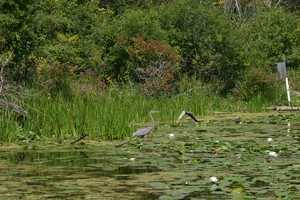A Great Blue Heron was also enjoying time in the lake.