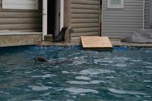 The other seals and sea lions were out in the pool for their daily swims.