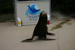 Slick welcomes visitors to the Oceans of Fun seal and sea lion shows four times daily (March through October).