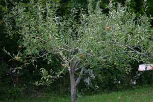 This tree should be full of apples but isn't due to the conditions this year.