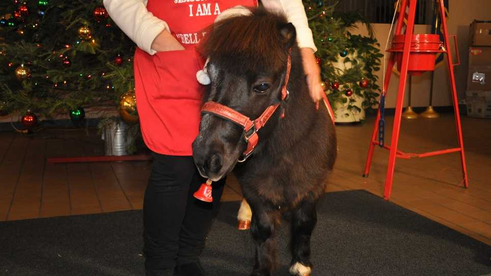 Tinker the bell-ringing mini horse