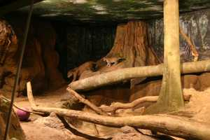 Mom, Stella, led the two cubs into the public exhibit for the first time in front of a large group of onlookers.