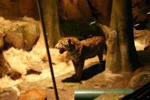Pat, the father, and Stella (pictured here) produced the first jaguar cubs in Milwaukee since 1975.