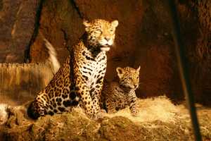 The other cub will be named with the help of the Belize school children that co-wrote the book.