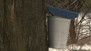 In March, maple trees at the MacKenzie Center are tapped for sap to make maple syrup. The tapped trees are part of the current educational program at the center.