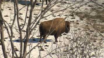 The MacKenzie Center maintains a small herd of bison. Bison once roamed southern and western Wisconsin, but were hunted nearly to extinction. The last wild bison in Wisconsin were shot in 1832.