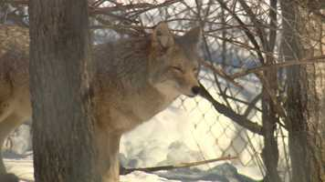 Coyote in wildlife exhibit. Coyotes live in every county in Wisconsin. The DNR says the statewide population of coyotes is 17,000 - 20,000.