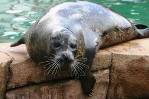 In addition to the eight California sea lions there are three harbor seals at Oceans of Fun.