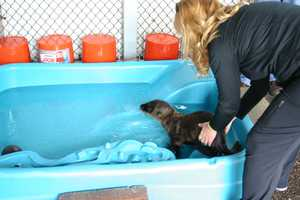 Sea lions are not born with a natural ability to swim.