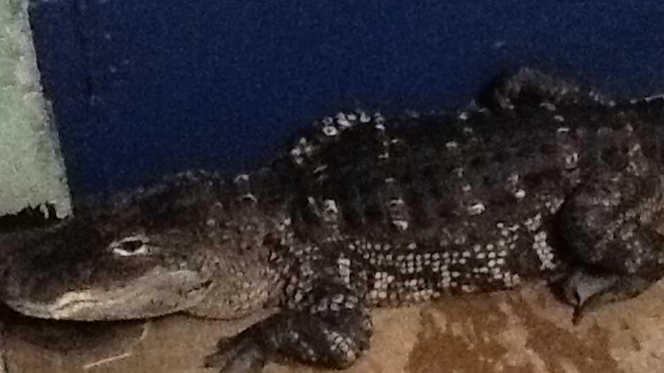 Alligator One.JPG