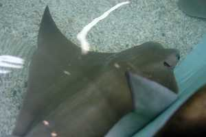 The stingrays in the tank like to be touched and feed off the interaction.