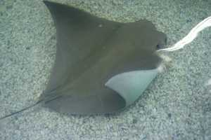 Stingrays can live 15-25 years in the wild.