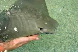 There are more than 20 Cownose Stingrays.