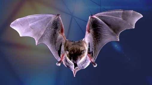 brown bat pix