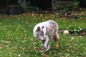Wolves have been taken off the endangered species list.