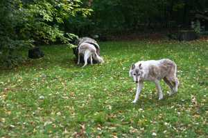 Gray Wolves live in Alaska, Canada and northern parts of the U.S., including Wisconsin.