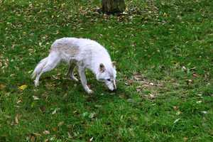 The Gray Wolf is the largest wild member of the dog family.