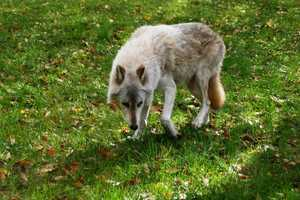 """Wolf Awareness Day"" activities take place from 10am-3pm."