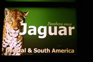 Jaguars are found in Central and South America.