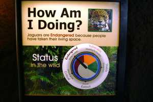 Jaguars are endangered in the wild as their habitats are being destroyed.