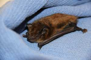This is a Big brown bat and he is just one of many species currently residing at the Wisconsin Humane Society's Wildlife Rehabilitation Center.