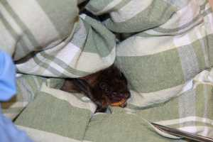 Although only weighing .5-1.2oz, with a wingspan of 12-16 inches they are considered large for an American bat.