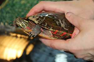 Painted turtles are the most common turtle in North America.