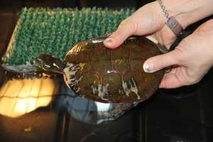 Painted turtles can live up to 40 years in the wild.