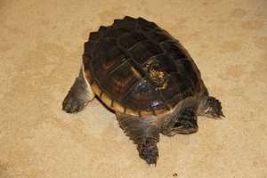 Snapping turtles can grow up to 300 pounds.