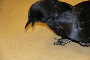 Even after rehab for his broken legs, Crow Baby had a permanent handicap and cannot be released.