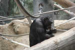 Bonobos are mans closest relative. More than 98% of bonobo DNA is like that of humans.